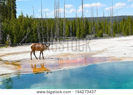 A female Elk (cow) at a hot spring in the West Thumb Geyser Basin in Yellowstone National Park.