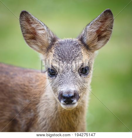 Portrait Of Roe Deer Fawn, Capreolus Capreolus. Young Wild Roe Deer Fawn, Young Wild Animal.