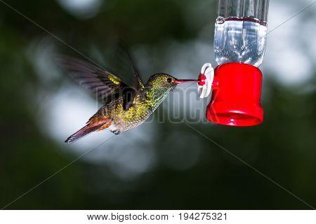 Rufous-tailed Hummingbird -amazilia Tzacatl