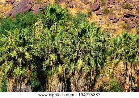Native California Fan Palm Trees at an oasis surrounded by an arid dry landscape taken in Palm Springs, CA