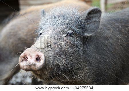 Wild boar with raised nose. Dirty wild boar