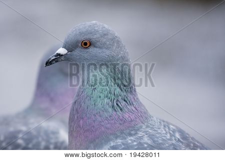 Two pigeons passing by. poster