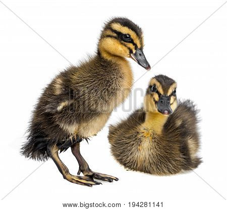 cute ducklings ( indian runner duck) isolated on white background