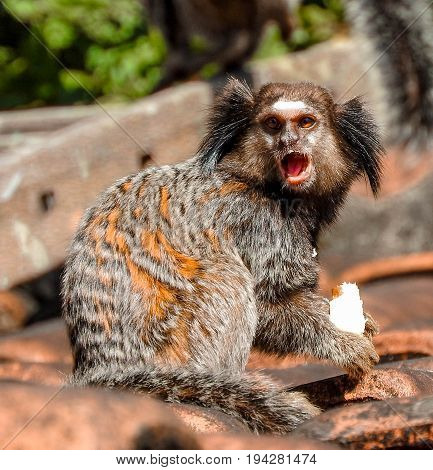 Angry marmoset on roof of a shed near a spot of wild forest in the suburb