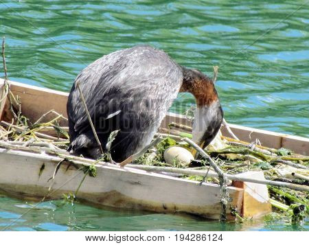 Red-necked grebe demolished the egg in nest on the Lake Ontario in Toronto Canada July 3 2017
