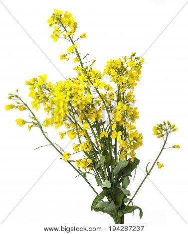 a rapeseed plant isolated on a white