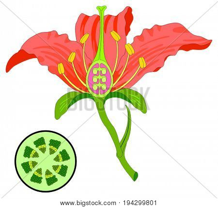 Flower Parts Diagram with stem cross section anatomy of plant morphology and its contents useful for school student stamen pistil petal sepal leaf receptacle root botany science education poster