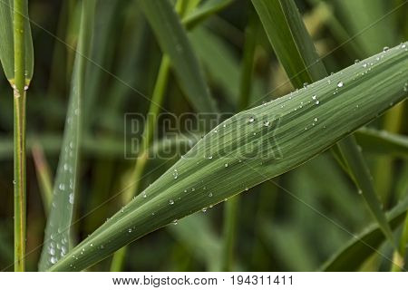 On a green leaf of a cane sprinkled drops of dew
