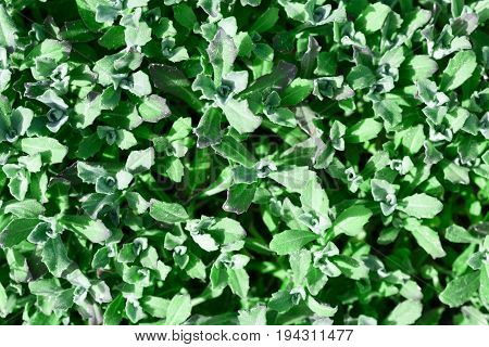 Green leaves for background. Background of green leaves.