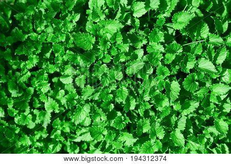Green leaves for background.  green leaf background