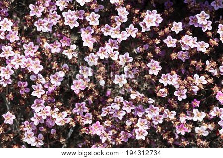 Field of pink flowers.Blue small wildflowers. The view from the top. Small soft blue veronica persica flowers grow in spring outdoors.