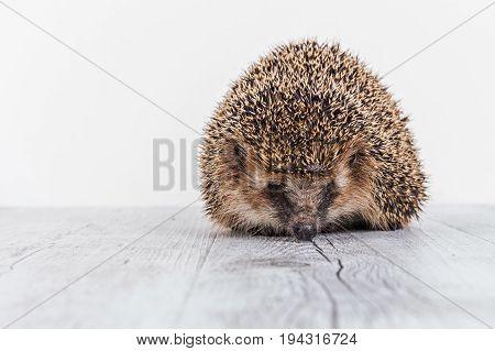 Little hedgehog on a white table. Cute hedgehog on a photo shoot