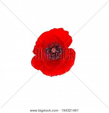 Red Wild Flower Of Papaver Rhoeas (corn Poppy, Corn Rose, Field Poppy), Isolated On White