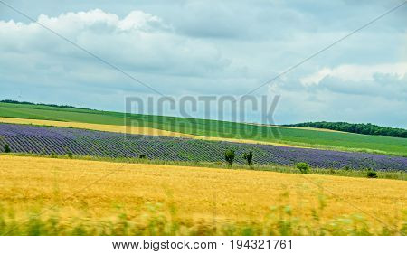 Countryside Wild Fild With Violet Lavender, Yellow Weath, Corn And Clouds Blue Sky