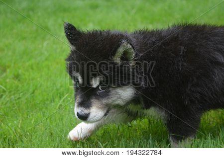 Really adorable face of an adorable alusky puppy dog.