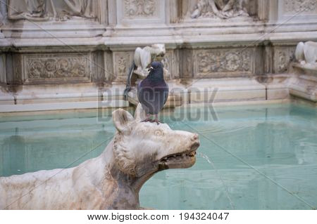 Italy Siena - December 26 2016: the view of detail of the Fonte Gaia a pigeon on the wolf head in fountain of joy on December 26 2016 in Siena Tuscany Italy.