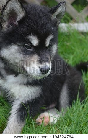 Sweet black and white alusky puppy dog sitting down in green grass.