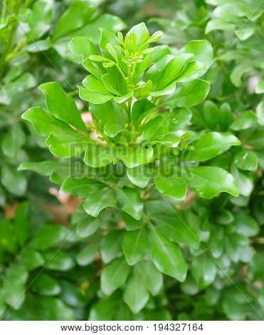 Tree and Plant Green Leaves of Murraya Paniculata or Orange Jessamine for Garden Decoration.