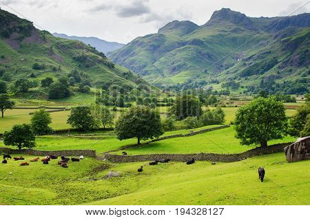 Stunning rural landscapes in Lake District National Park, England, stone wall, cows, mountains on the background, selective focus