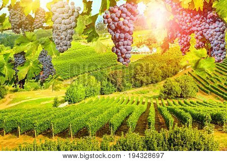 Red grapes hanging in vineyard. Grape wineland landscape landscape at sunset in Constantia valley, Cape Town, Western Cape, South Africa. Seasonal picturesque background.