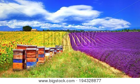 Provence, France - blooming fields of lavader and sunflowers with beehive in Valensole