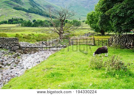 Beautiful views in Lake District National Park, England, stone walls, stream, mountains on the background, black sheep in the fields, selective focus