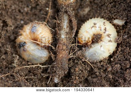 Pests control, insect, agriculture, spring soil preparation. Disgusting larvae of chafer eats plant root and damaged it.