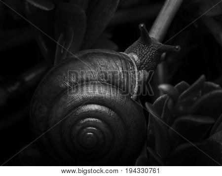 Close-up top view and monochrome image of snail crawling on plant in garden after rainy in the night Low key