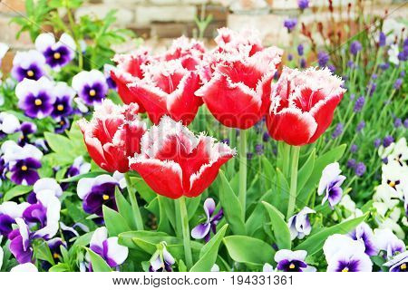 Bouquet of red tulips wih white rim in the middle of purple tulips with white rim in the garden