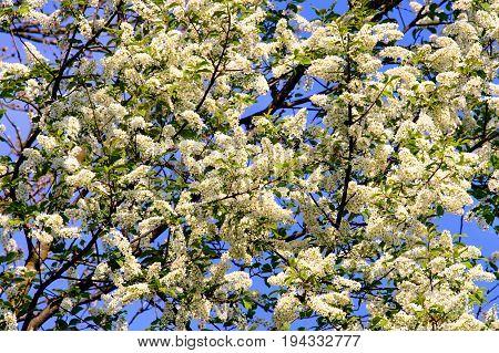 Foliage and flowers of bird cherry (Prunus padus).