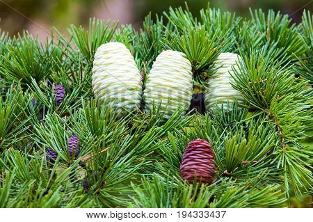 Foliage and (small brown male, female brown mature and immature) cones of Himalayan cedar (Cedrus deodara).