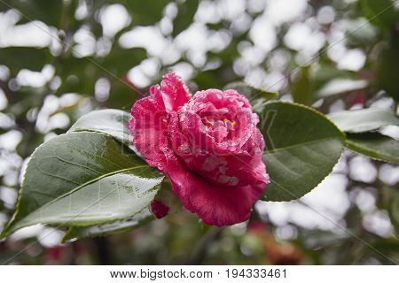 Pink rose flower close up in dew drips with wet leafs and shallow depth of field