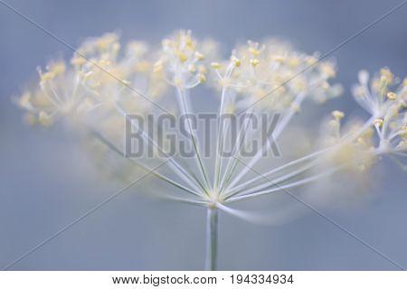 Macro closeup of flowering dill herb cluster growing in garden