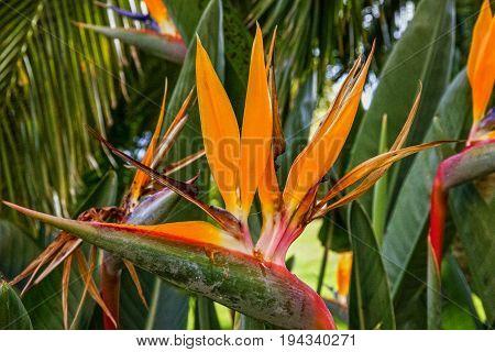 African flower strelitzia bird of paradise, Madeira island. Funchal Portugal