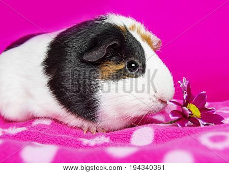 cute guinea pig with a flower - pink background