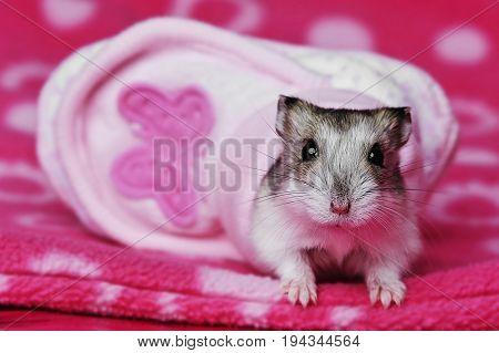 cute hamster resting in a little shoe