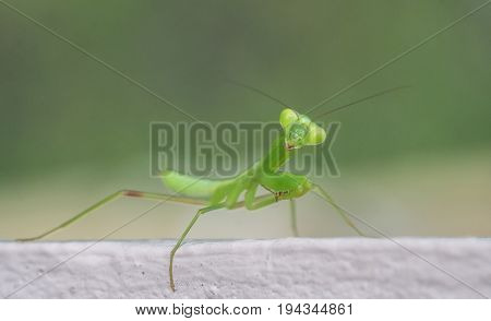 Closeup macro of green grasshopper looking into the camera isolated over blurred background