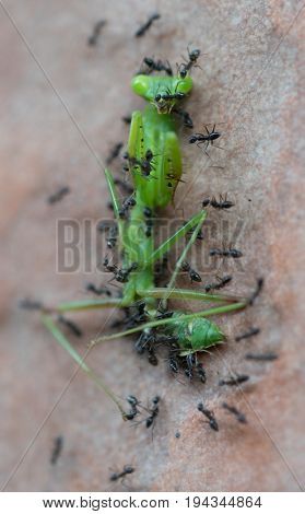 Top view closeup of black ants attack and eat large bright green tropical grasshopper isolated on tiled brown floor background