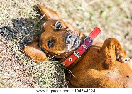 A cute dachshund lying on its back down on ground