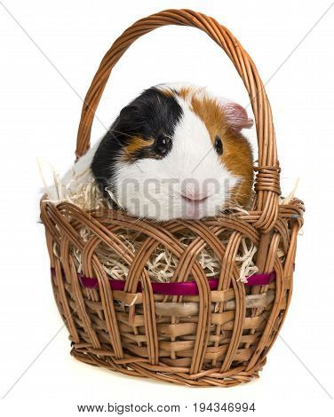 guinea pig in a little basket isolated