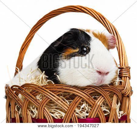 a guinea pig in a little basket