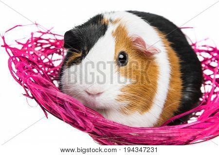a cute little guinea pig in a little net