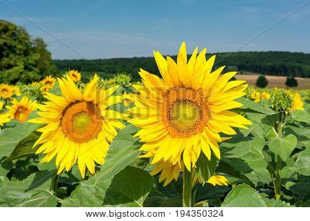 French countryside - Lorraine. A field with beautiful sunflowers in the morning.