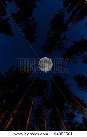 Pine trees forest with full moon landscape