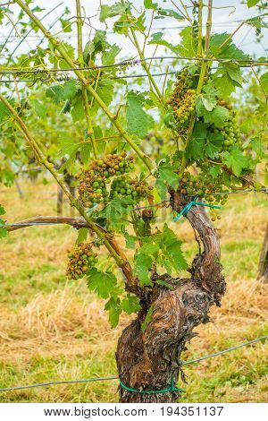 Vineyard and grapes damaged and crop destroyed after severe storm with hail destroying the major portion of the harvest. Plants will have to be treated with chemicals to survive