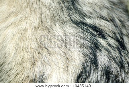 Dog fur. Fur of Alaskan Malamute close up texture.