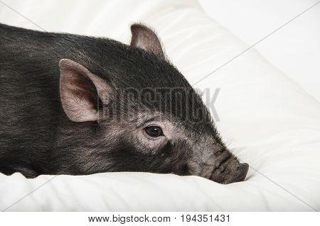 a cute little black pig lie on a pillow