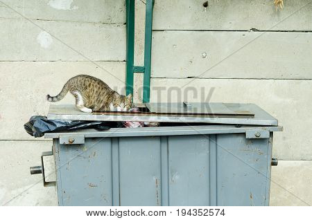 Domestic cat looking for food in the street garbage can. Cat life.