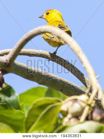 One Legged Saffron Finch Perched On Tree Branch