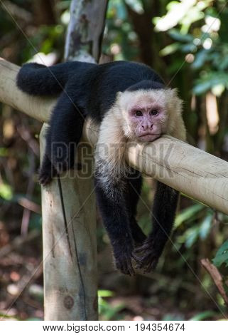 White headed monkey bored and resting in Manuel Antonio National Park